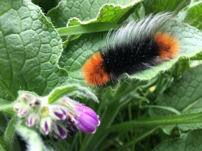 Fernando - Wooley Bear Caterpillar