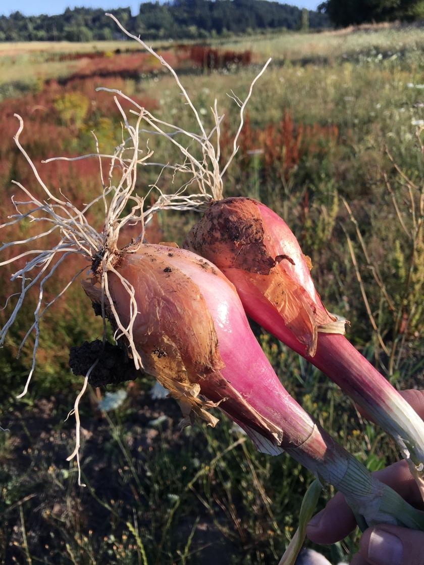 Onions in an overgrown field.