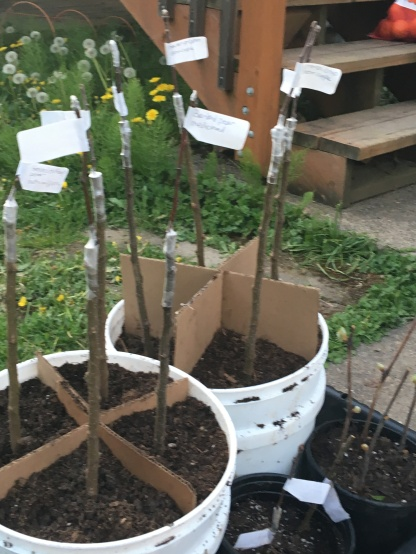 Apples in their first pots - wating to get a bit bigger before going into the ground.